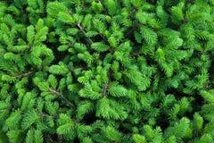 云杉的年轻绿色分支 免版税库存照片