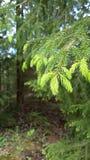 云杉的新芽在森林里 库存照片