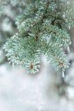 云杉的枝杈 用冰盖的针 背景蓝色雪花白色冬天 免版税库存图片