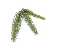 云杉的枝杈 免版税图库摄影