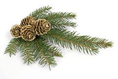 云杉的枝杈 免版税库存照片