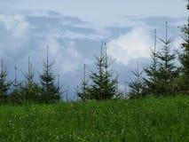 年轻云杉的树、云彩和天空在背景中 库存照片