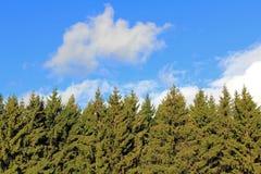 云杉的树上面和蓝天背景与白色云彩。 免版税库存照片