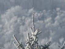 云杉的树上面  库存图片