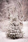 云杉的树与雪冬天 免版税库存图片