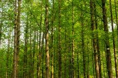 云杉的树丛 库存照片