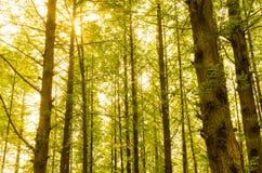 云杉的树丛 免版税库存图片