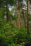 云杉的树和豪华的绿色灌木在一个森林里在富兰德 免版税图库摄影