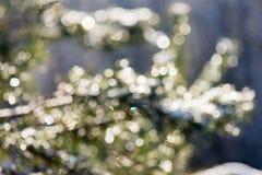 云杉的树在与抽象迷离boke的冬天在阳光下 免版税图库摄影