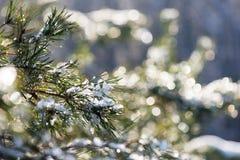 云杉的树在与抽象迷离boke的冬天在阳光下 免版税库存照片