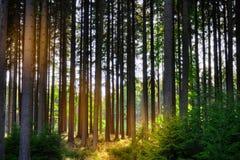 云杉的树在森林里 库存照片