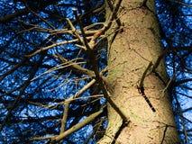云杉的树干 库存照片
