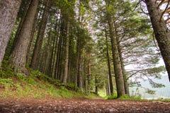 云杉的树森林 库存图片