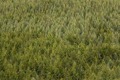 云杉的树森林 图库摄影