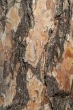 云杉的树皮特写镜头 免版税库存照片