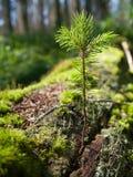 云杉的树苗 免版税库存图片