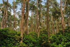 云杉的森林原野在富兰德 免版税库存图片