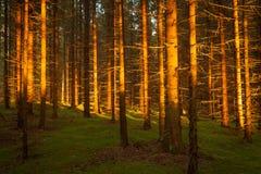 云杉的森林和道路金黄日落光 库存图片