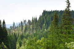 云杉的森林在乌克兰喀尔巴汗 能承受的清楚的生态系 库存图片