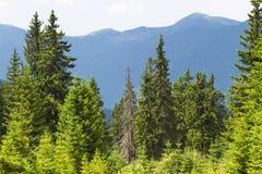 云杉的森林在乌克兰喀尔巴汗 能承受的清楚的生态系 库存照片