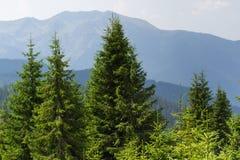 云杉的森林在乌克兰喀尔巴汗 能承受的清楚的生态系 图库摄影