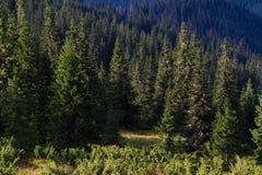 云杉的森林在乌克兰喀尔巴汗 能承受的清楚的生态系 免版税库存照片