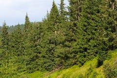 云杉的森林在乌克兰喀尔巴汗 能承受的清楚的生态系 免版税图库摄影