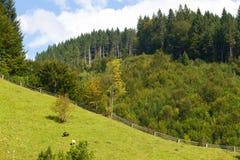 云杉的森林在乌克兰喀尔巴汗 能承受的清楚的生态系 免版税库存图片