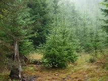 云杉的森林在夏天 免版税图库摄影
