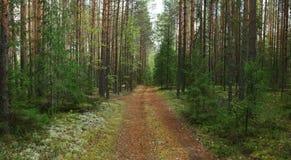 云杉的森林在夏天 免版税库存照片
