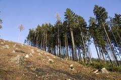 云杉的森林 免版税图库摄影