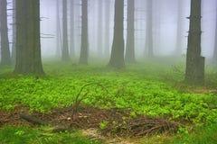 云杉的森林 免版税库存照片