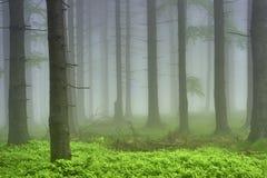 云杉的森林 库存照片