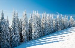 云杉的结构树冬天 库存图片
