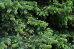 云杉的结构树特写镜头 免版税库存照片