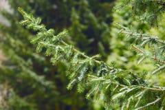 云杉的结构树 免版税库存图片