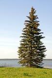 云杉的结构树 库存照片
