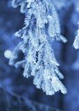 云杉的蓝色枝杈 库存照片