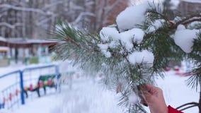 云杉的被盖的雪分支在城市公园被弄脏的背景的  女性手摆脱从云杉的分支的雪 股票视频