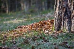 云杉的锥体在树下 图库摄影