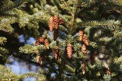 云杉的锥体,垂悬在树,背景 库存图片