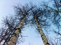 云杉的风景不列颠哥伦比亚省 库存图片