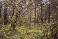 云杉的高原的森林 免版税图库摄影