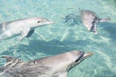 互动与人的友好的海豚 免版税库存照片