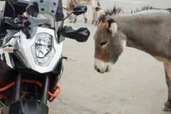 互动与摩托车的野生驮货驴子 图库摄影