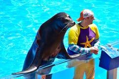 互动与Seaworld海狮展示的辅导员的好的海狮 库存图片