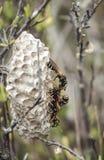 互动在他们的巢的纸质黄蜂在户外 库存图片