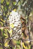互动在他们的巢的纸质黄蜂在户外 免版税库存照片