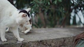 互相画两只猫,然后女孩加入他们拍照片 现在,猫发出嘘声在彼此, 股票视频