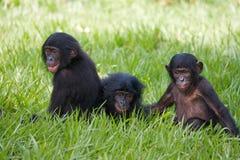 互相的三个婴孩倭黑猩猩戏剧 刚果民主共和国 洛拉Ya倭黑猩猩国家公园 免版税图库摄影